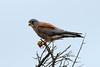 Falco naumanni ♂ (Lesser Kestrel) - South Africa by Nick Dean1