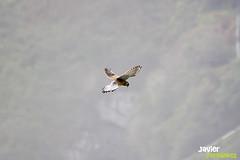 Cernícao vulgar (Falco tinnunculus)