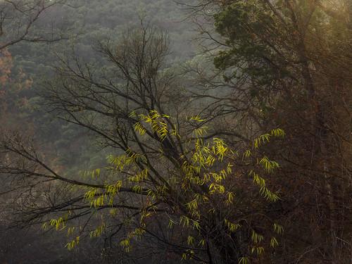 yellow leaves mist misty mistymorning bullcreek austin texas texashillcountry yellowgreen green trees hillside