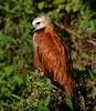 Belize: Black-Collared Hawk by sparrowjack007