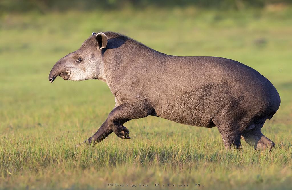 tapir  south american tapir  brazilian tapir  tapirus terr