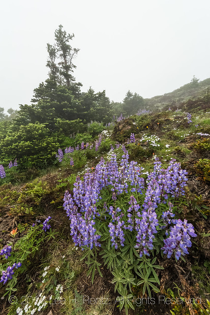 Broadleaf Lupine on Mount Townsend in Olympic National Forest