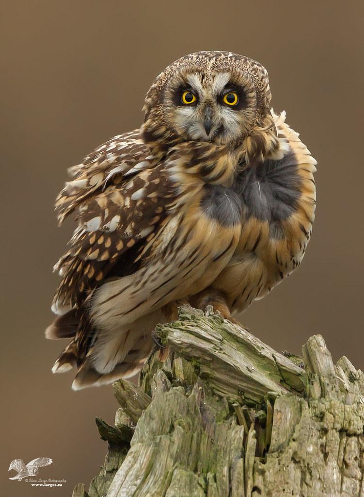 Wind Blown (Short-Eared Owl)