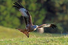 Red Kite, Argaty, Stirlingshire, Scotland by Terathopius