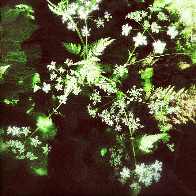Wild Ireland with the wild flower Queen Anne's Lace in the photo app Snapseed with a square crop