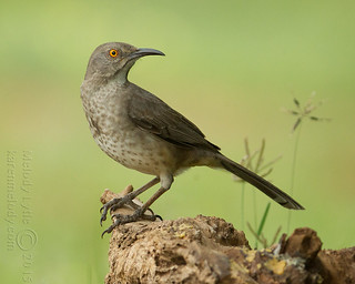 Curve-billed Thrasher | by karenmelody