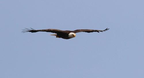 canada nova dor preyeaglebald eaglemarble scotiabirdsbird mountainbras