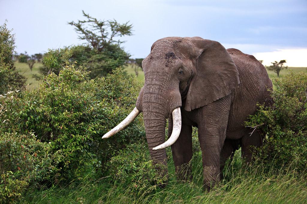 Image: Big Tusker