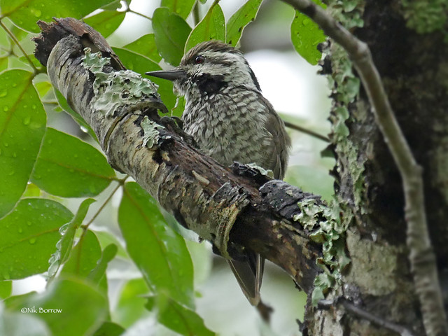 Stierling's Woodpecker Dendropicos stierlingi