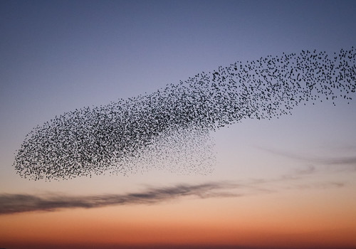 Studland starlings | by arripay