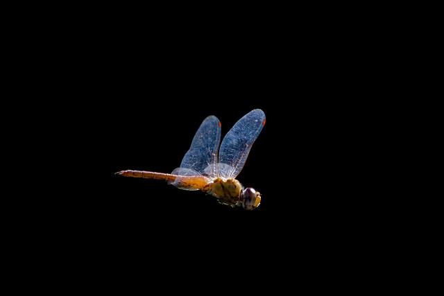 Dragonfly in flight (EXPLORED) Wandering Glider - Pantala flavescens