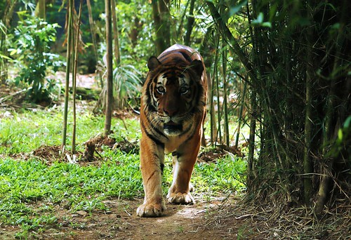 Bengal Tiger - Cebu Safari & Adventure Park | by eazytraveler