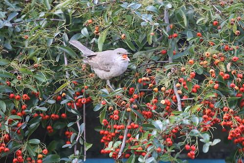 sylvianisoria barredwarbler rare rarity titchfieldhaven hillhead hampshire feeding berries wild bird
