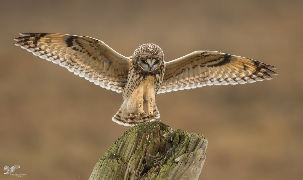 Concentration (Short-Eared Owl)