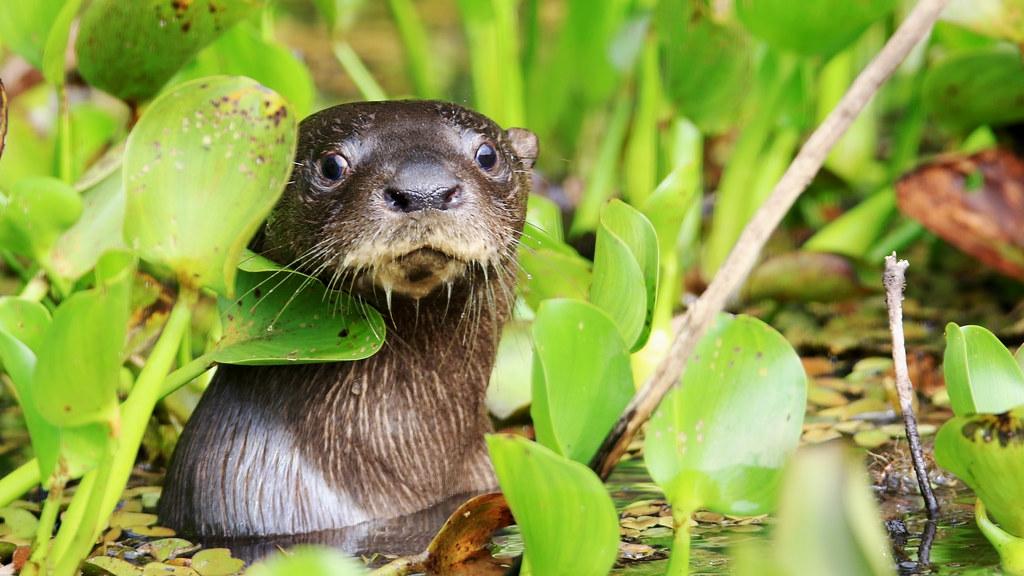 Neotropical Otter - Lontra longicaudis