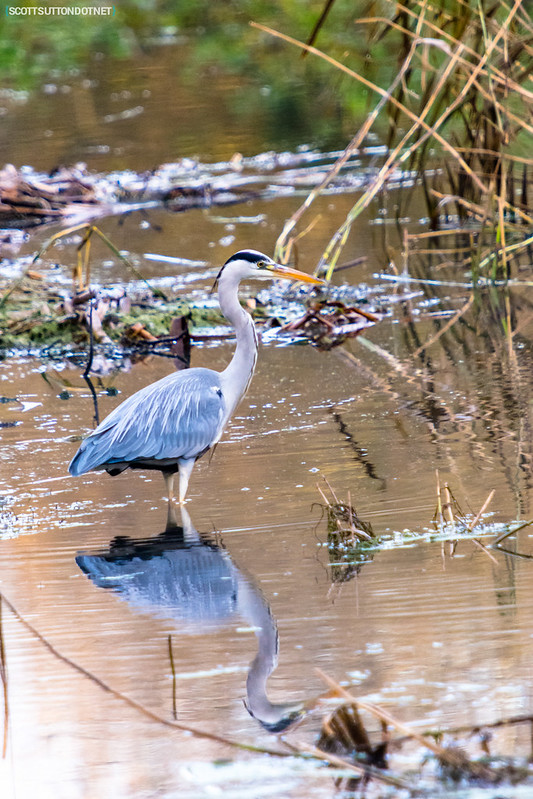 Grey Heron with reflection