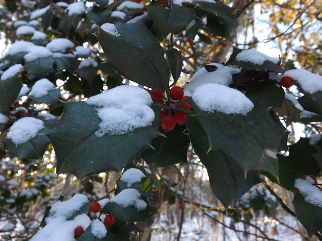 Holly berries in the snow