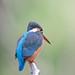 カワセミ(Common Kingfisher)