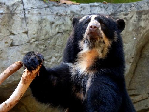 MN Zoo Sun Bear | by GSankary