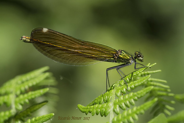 Calopteryx virgo (Linnaeus 1758) Female