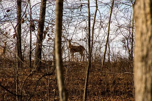 woodland wildlife winter altamont nature ballardnaturecenter effinghamcounty illinois places deer unitedstates us