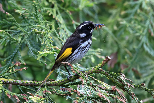 New Holland honeyeater | by dmmaus