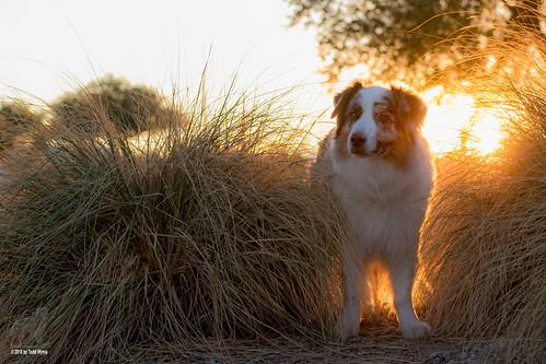 aussie australianshepherd dog sunset