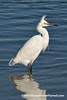 Brewster's Snowy Egret (Egretta thula brewsteri), adult nonbreeding DSC_5902 by fotosynthesys