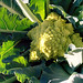 broccoli-romanesco-jul14