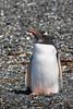 Pingüino de Vincha - Pygoscelis papua - Gentoo Penguin by Jorge Schlemmer