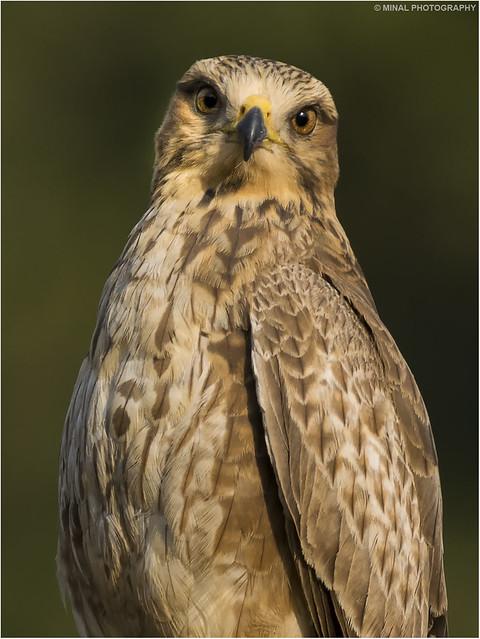 Close up of White eye buzzard
