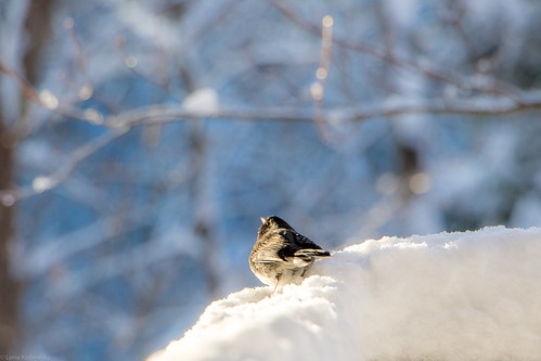 winter junco sunrise