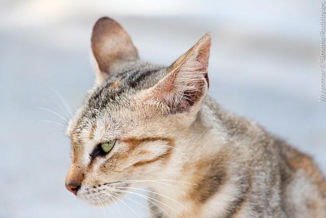 Stray cat. Mandalay, Myanmar.