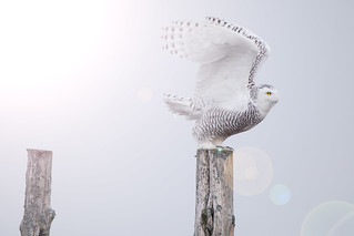 Snowy Owl preparing for lift off | by NicoleW0000