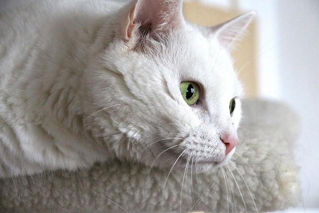 our white cat Blanka