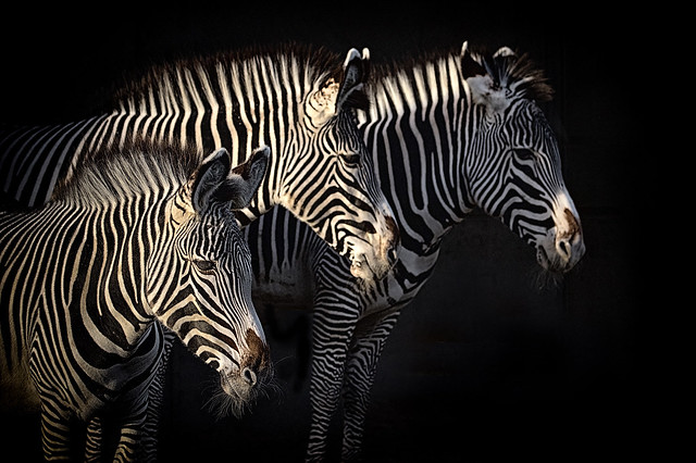 Zebras in light and shade