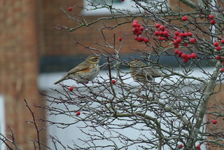 Redwing by Graham Avison | by sdbwsmembers