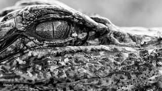 Baby Gator 004 - Cropped B&W version | by Phocal Art