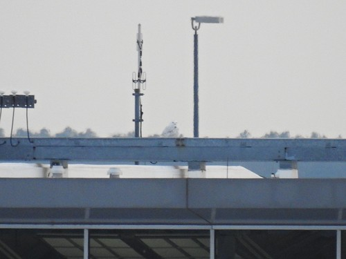 dullesinternationalairport snowyowl owl birdofprey loudoncounty birdwatching bird birding birder birds northernvirginia nova virginia wildlife nature outdoors outside animal creature