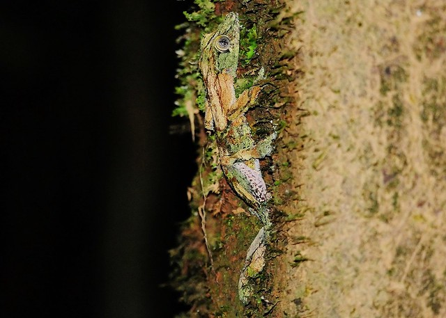 The Nocturnal Mossy Leaf-tailed Gecko (Uroplatus sikorae ) Camouflage