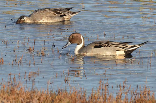 Northern Pintail (Anas acuta) | by Brian Carruthers-Dublin-Eire