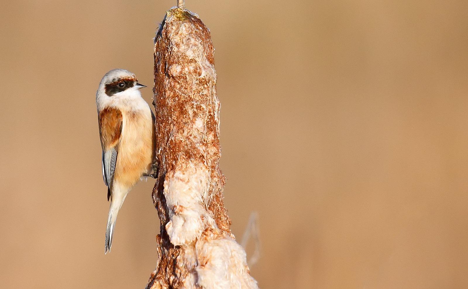 Penduline Tit - male