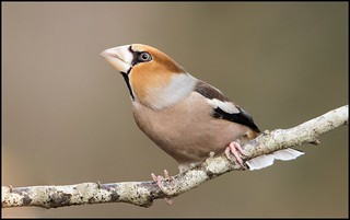 Grosbec / Hawfinch | by denismichaluszko
