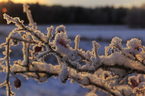 season årstid frost winter vinter berries bär sunlight solljus eos7dmkii light ljus chrystals kristaler xtals