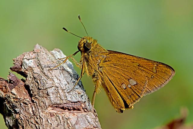 Polytremis eltola - Yellow-spot Swift