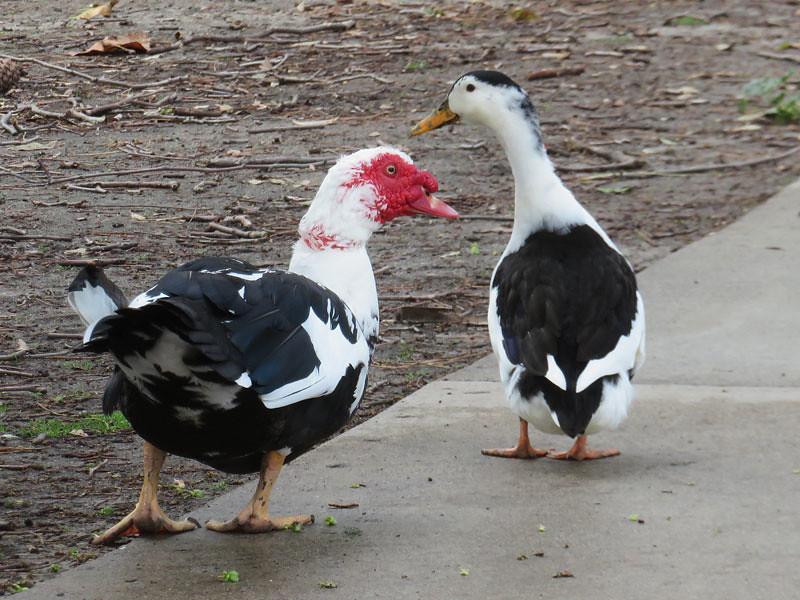 Muscovy (L) and Magpie (R) ducks   Centennial Park, Santa An