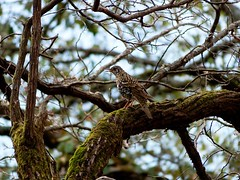 Scaly Thrush - in the woods - Western Himalayas ~1900m Altitude