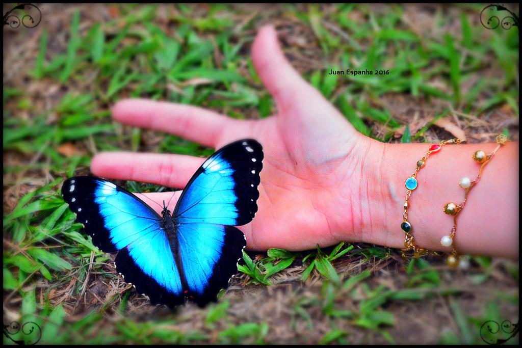 Borboleta azul - Capitão do mato, Morpho helenor (macho) | Flickr