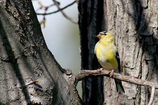 American Goldfinch (male) | by Keith Carlson
