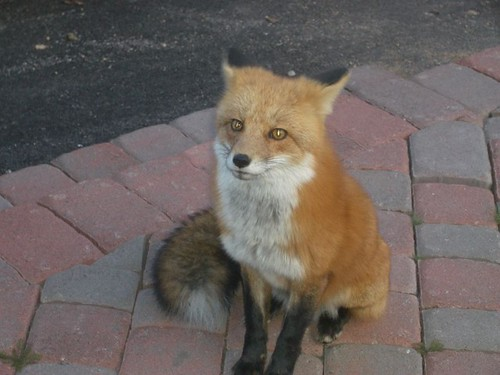 foxy | by nucof